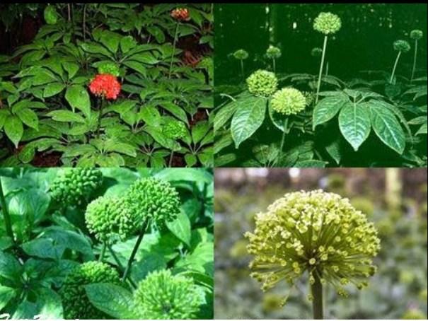 Tác dụng của hoa tam thất trong trị bệnh mất ngủ