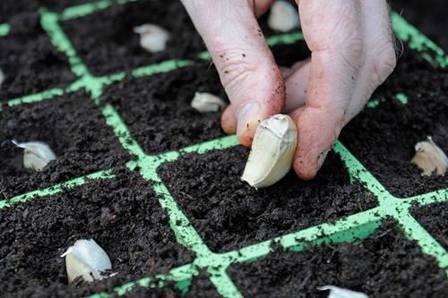 Cách trồng ngồng tỏi đơn giản tại nhà cho năng suất cao