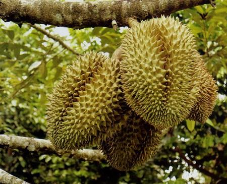 Một số lưu ý khi ăn sầu riêng không phải ai cũng biết