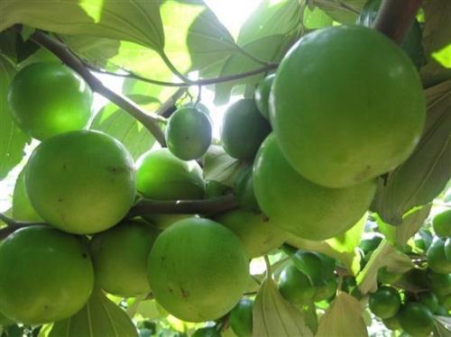 Công dụng của táo xanh Ninh Thuận