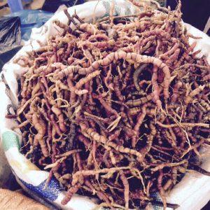 Cây ba kích tím loại sâm quý của tỉnh Quảng Ninh