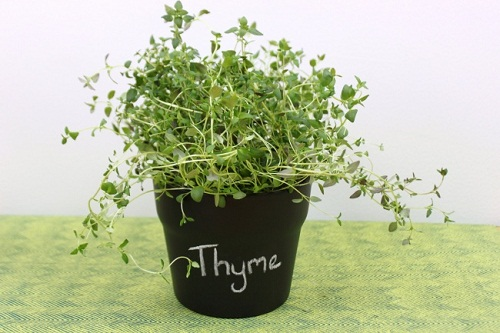Gieo trồng thyme