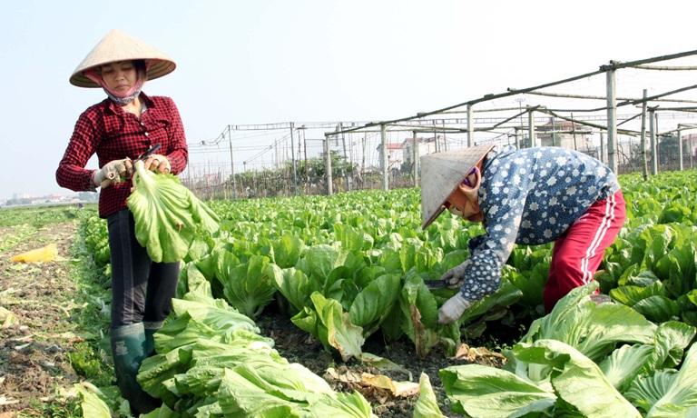 Các kỹ thuật trồng rau cải đơn giản ngay tại nhà
