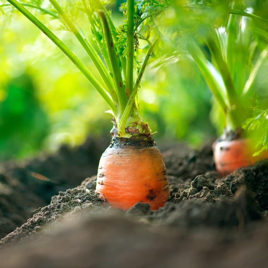 Cách trồng cà rốt để có hiệu quả cao