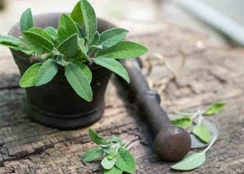 Công dụng của cây xô thơm đối với sức khỏe