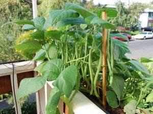 Hạt giống đậu cove bụi