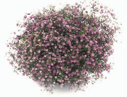 Hạt giống hoa baby hồng