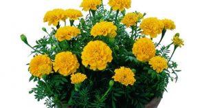Hoa vạn thọ hoàng gia